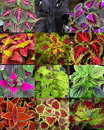 vegherb Coleus Mix, Floraison Manto Jardin d\'ornement de ...