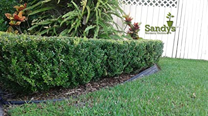 Sandys Nursery Online Boxwoods  Wintergreen Buxus Microphylla ~ Lot Of 12  Shrubs~  Quart