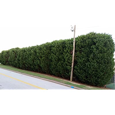 (1 Gallon) Murray Cypress, Nature's Privacy Fence, Green, Tall and Beautiful Hedge : Garden & Outdoor