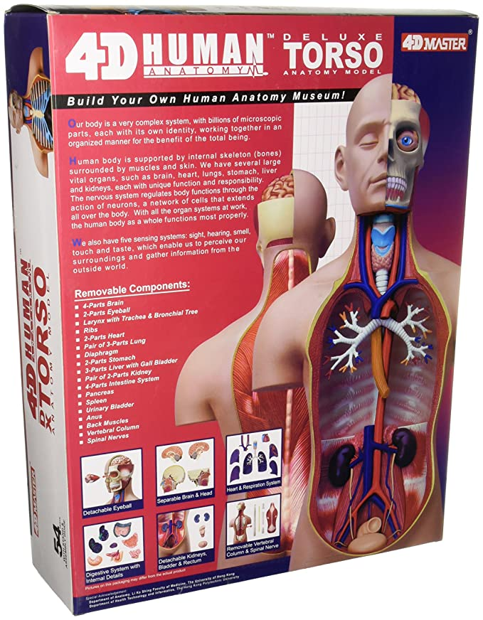 Amazon 4d Vision Deluxe Human Anatomy Torso Model Toys Games
