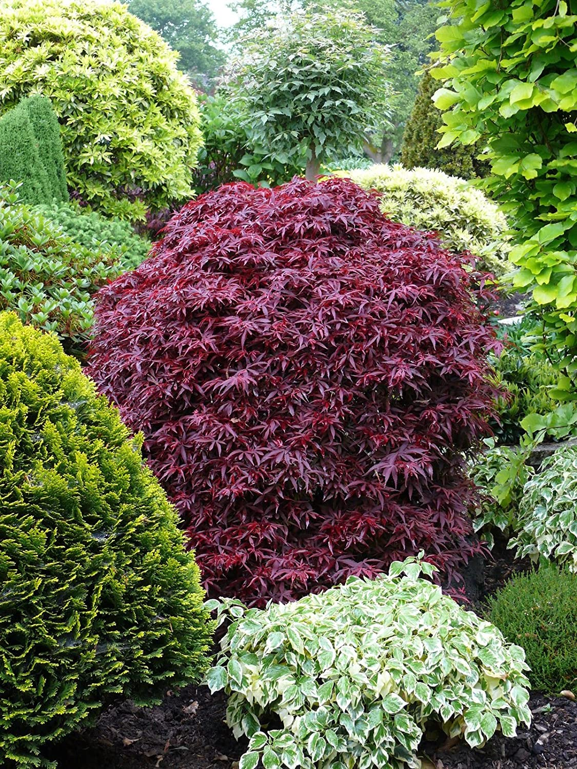 Acer Palmatum Shaina Japanese Maple Tree 4-5ft Supplied in a 7.5 Litre Pot Direct Plants