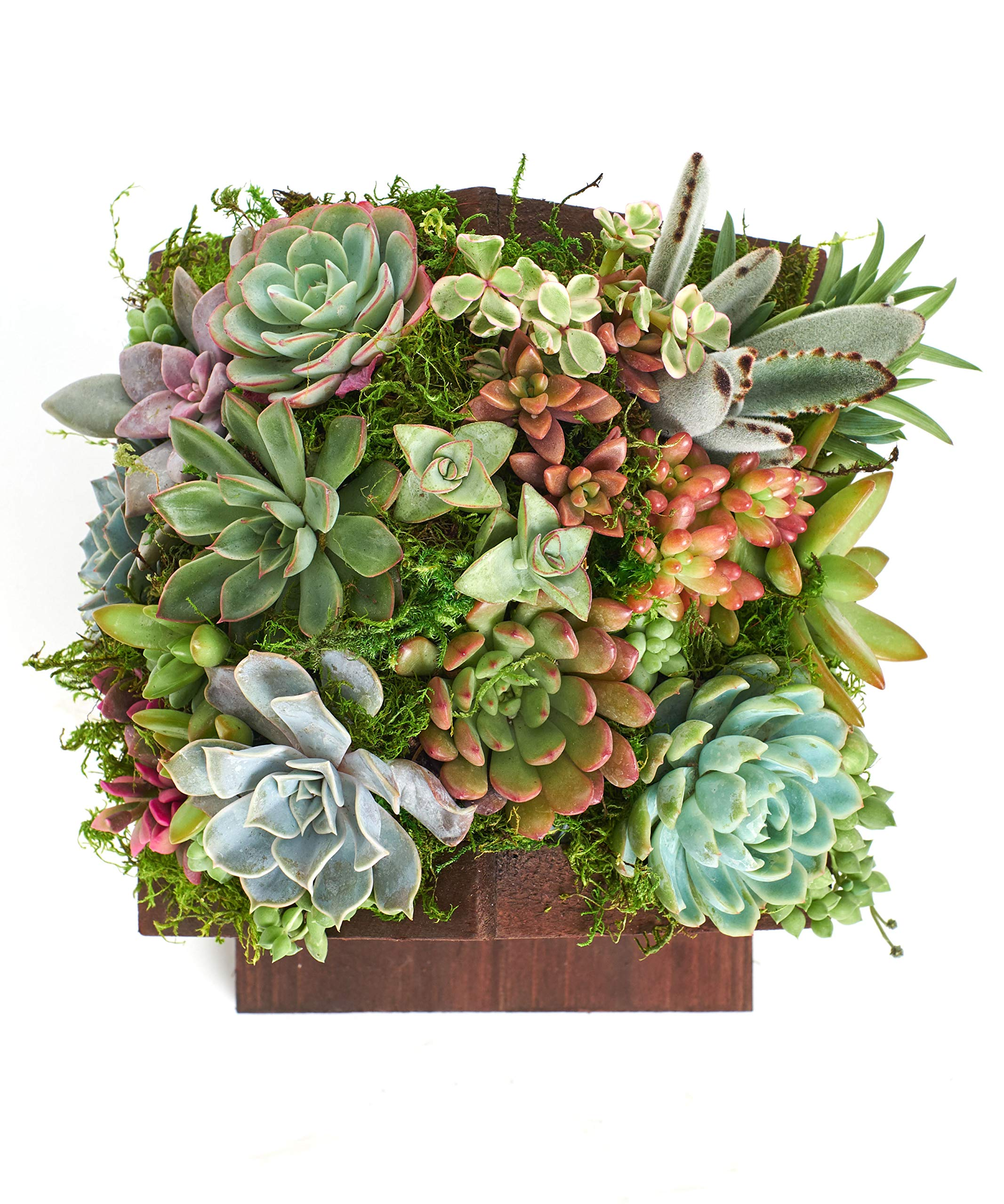 Shop Succulents BIRDHS-20-SUC-KIT Living Succulent Kit Birdhouse Planter by Shop Succulents (Image #3)