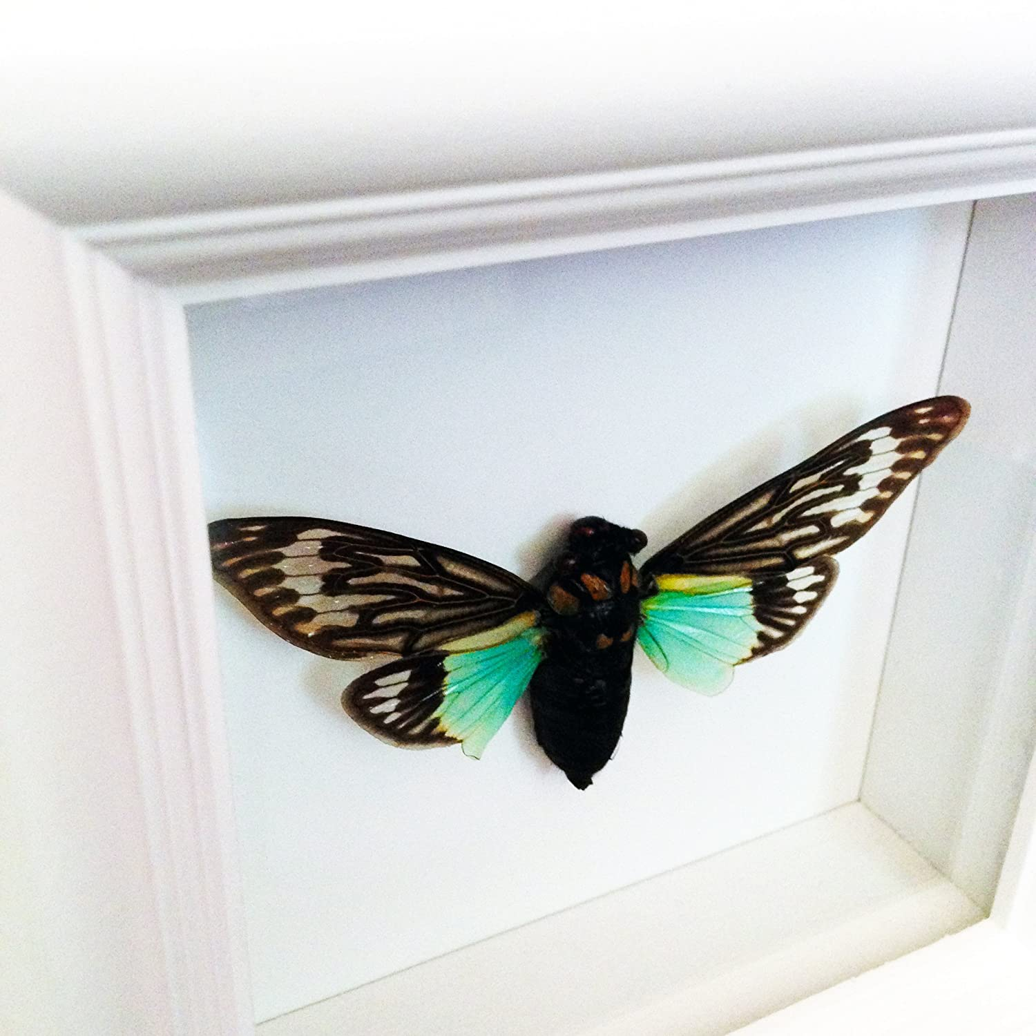 Real Cicada Insect Taxidermy Art- Butterflies, Butterfly Art, Insect Art, Entomology, Taxidermist, Interior Design, Bugs