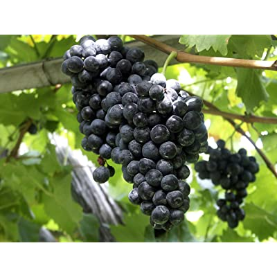 2 Concord Purple Seedless Grape Vine - 2 Year ALL NATURAL Grown Plant - Fall Planting : Garden & Outdoor