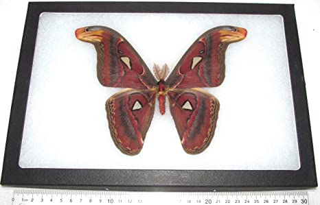Amazon Com Bicbugs Llc Real Framed Attacus Atlas Moth Male