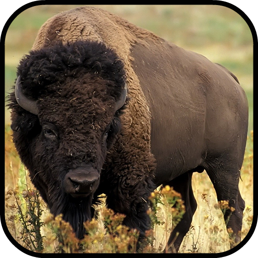 Bison / Buffalo Wallpapers