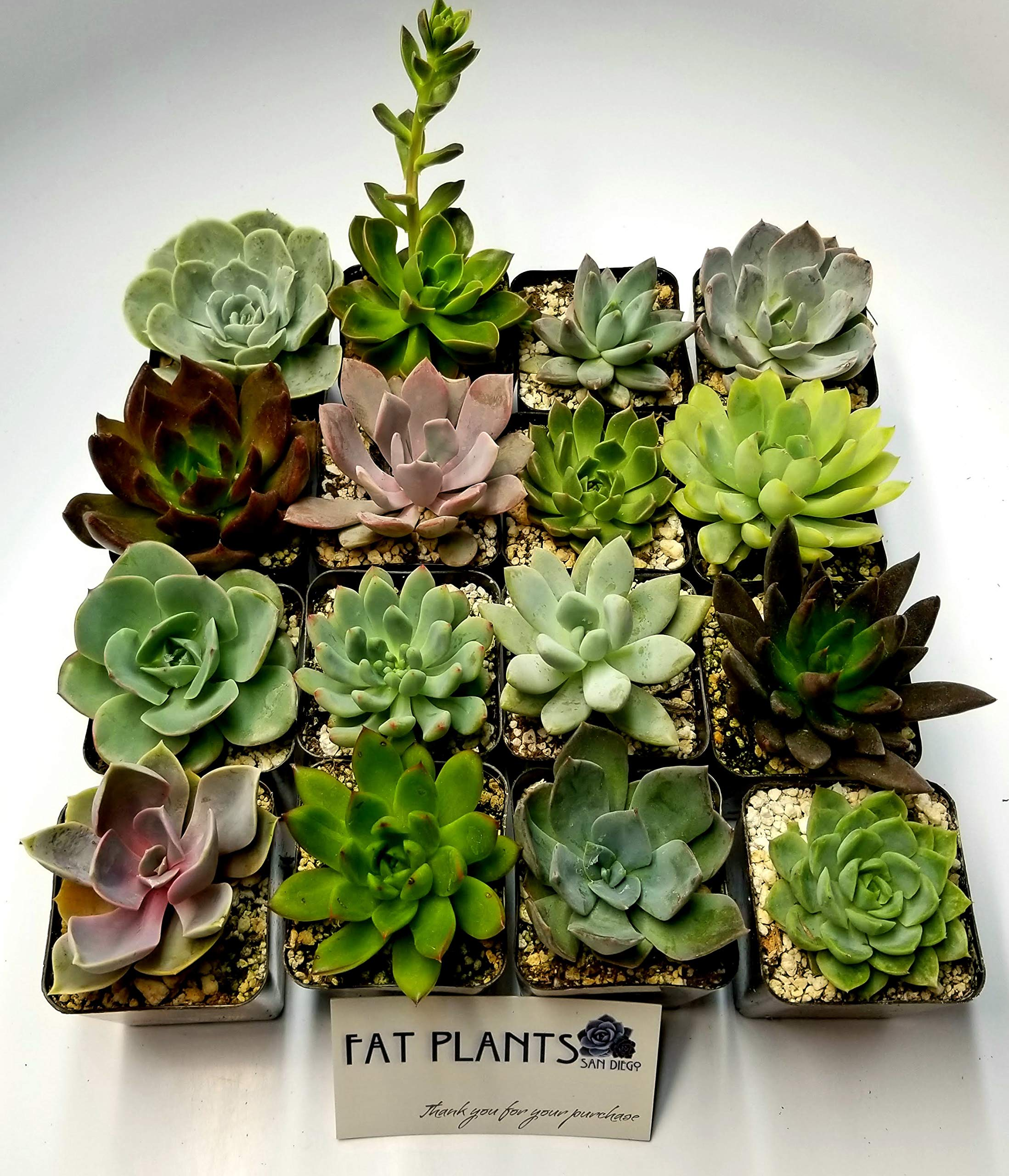 Fat Plants San Diego 2.5 Inch Wedding Rosette Succulent Plants (12) by Fat Plants San Diego (Image #3)