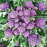 Brokkoli - Broccoli - Early Purple Sprouting - 200 Samen
