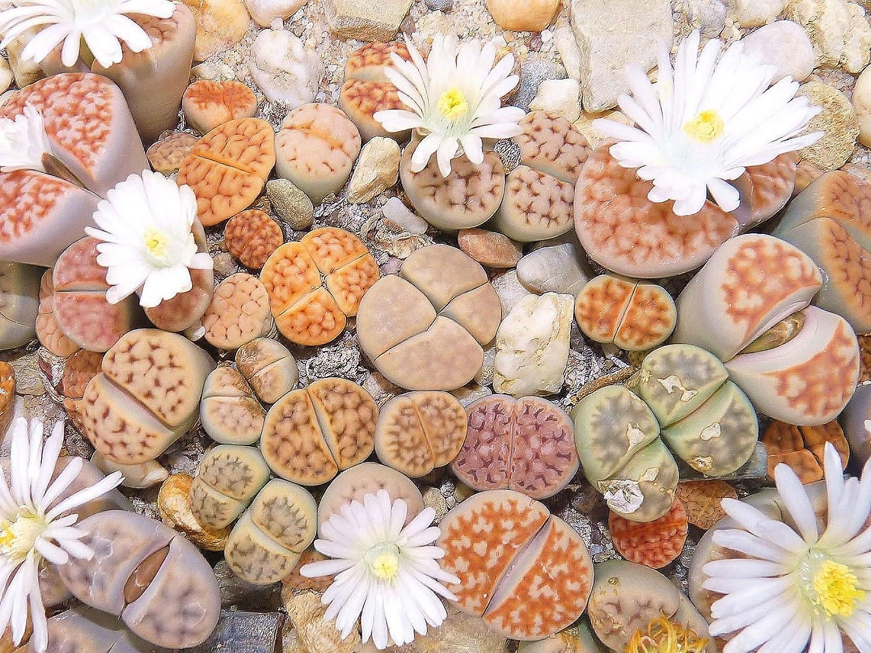 100 Seeds Lithops Pseudotruncatella Living Stone Rare Succulent Seeds Home Garde