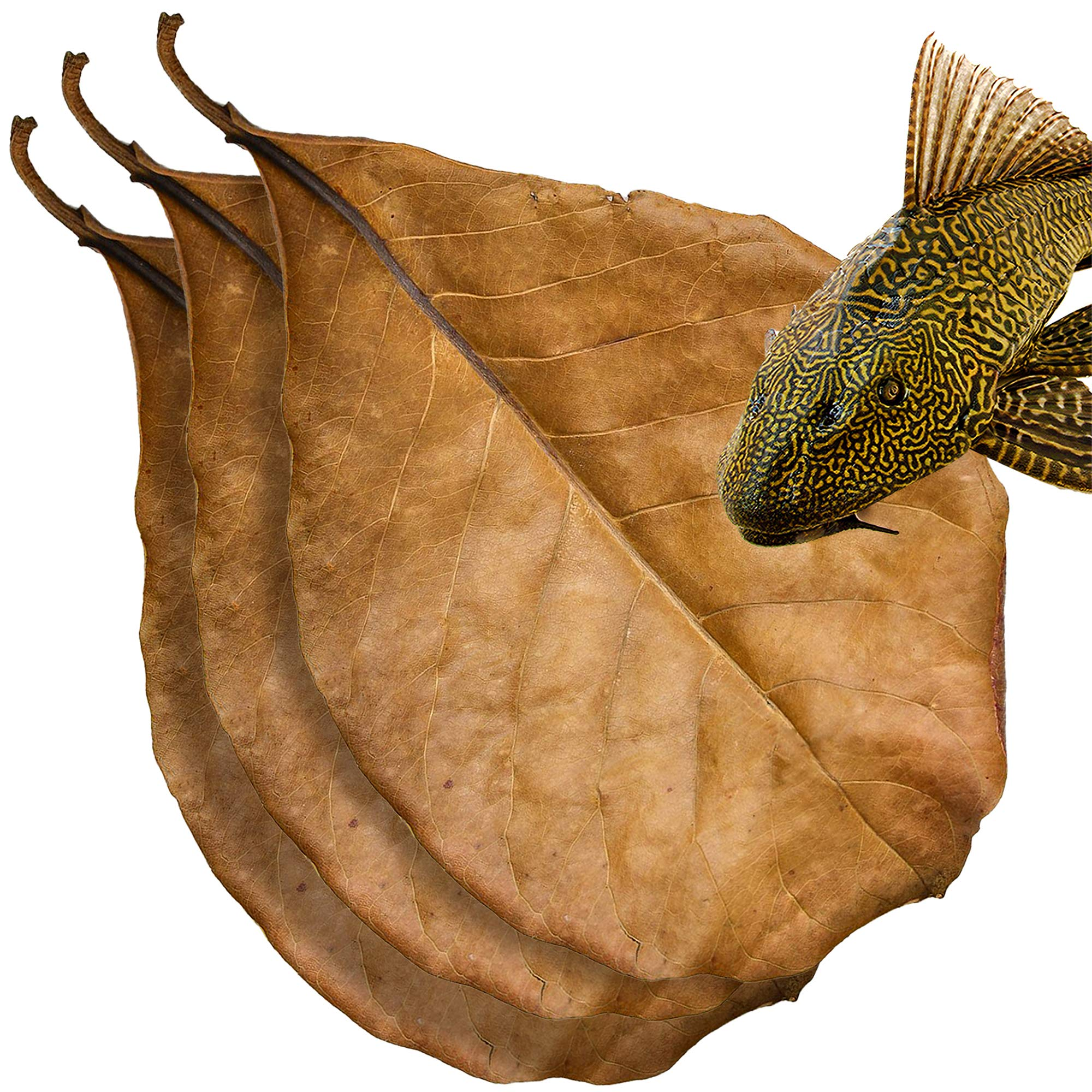 SunGrow Indian Almond Leaves for Pleco, Dried Leaves for Spawning, Expedite Healing Process Post Injury, Source of Nutrition, Create Blackwater Habitat for Bottom Feeders Like Catfish, Cory & Loach