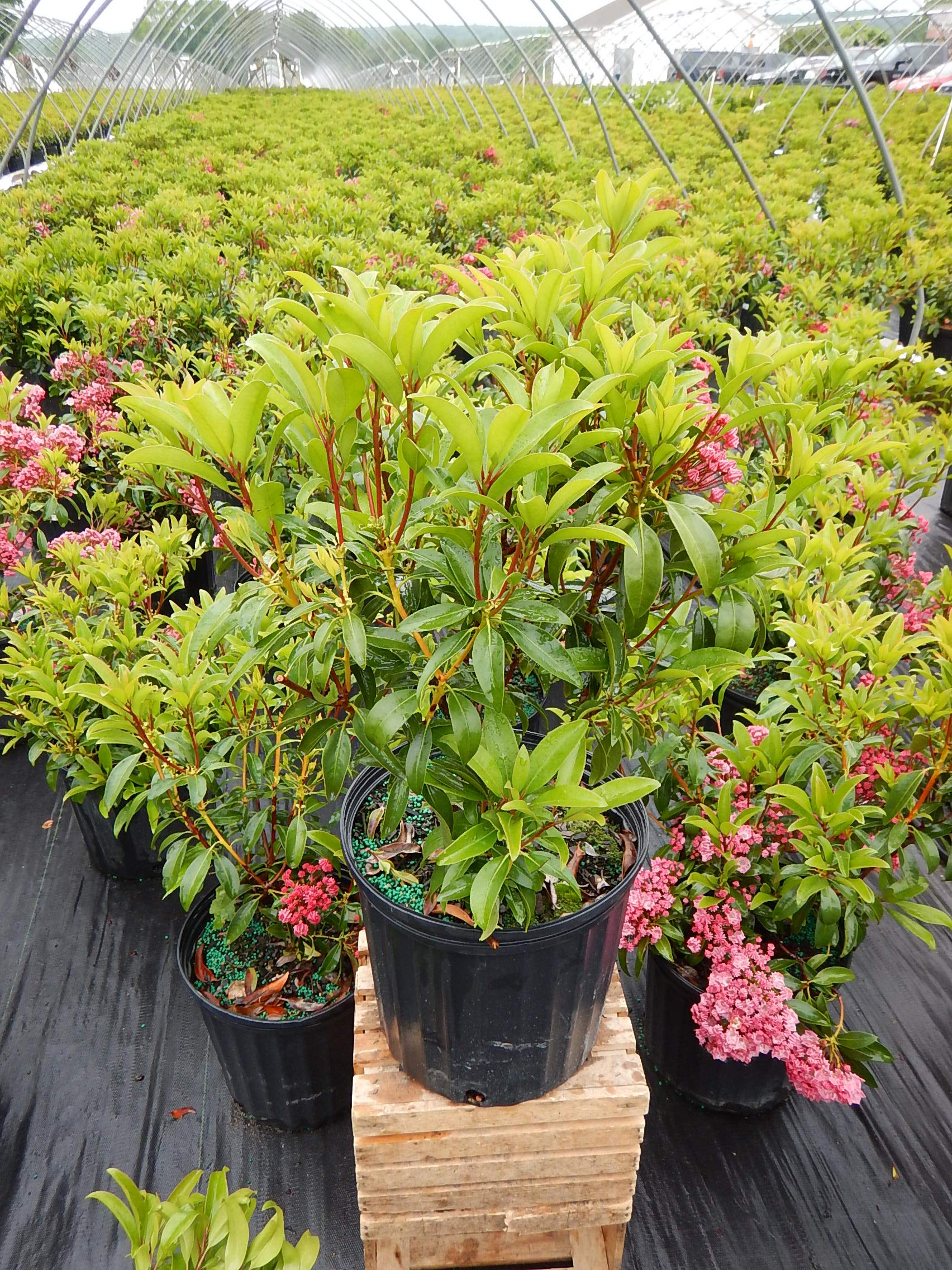 Kalmia lat. 'Sarah' (Mountain Laurel) Evergreen, pinkish-red flowers, #3 - Size Container by Green Promise Farms (Image #5)