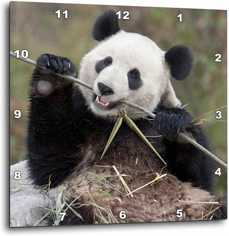 3dRose dpp_132354_3 China, Wolong, Giant Panda Bear Eating Bamboo-As07 Aga0009-Alice Garland Wall Clock, 15 by 15-Inch