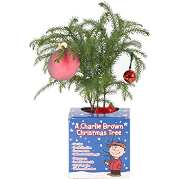costa farms live charlie brown christmas tree norfolk island pine small - Small Live Decorated Christmas Trees