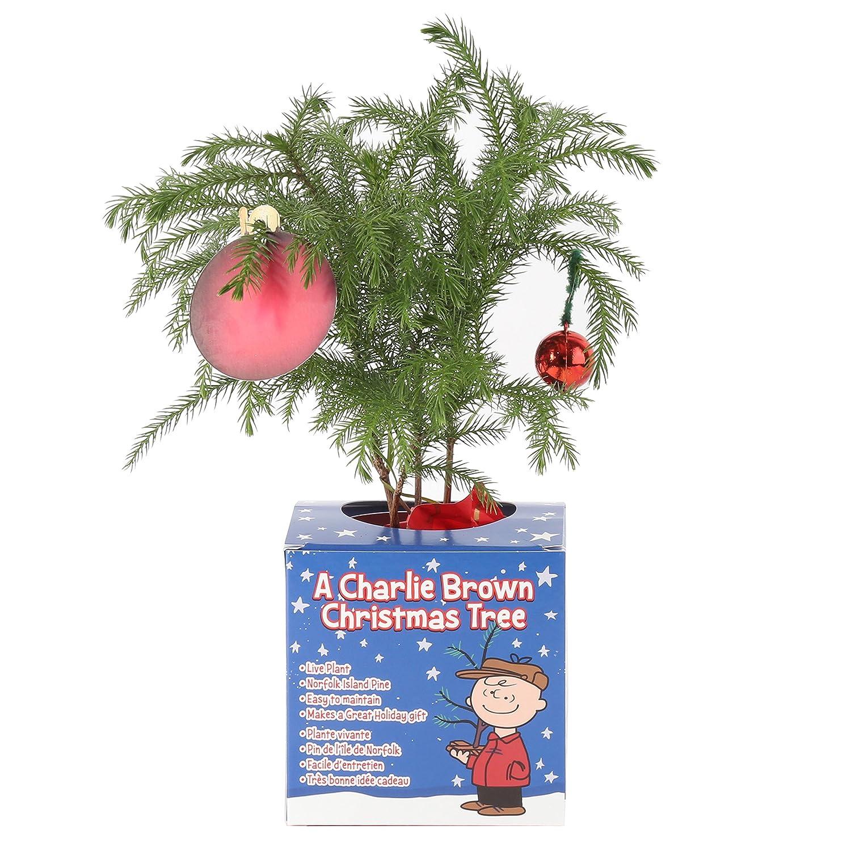 Amazon.com : Costa Farms Live Charlie Brown Christmas Tree (Norfolk ...