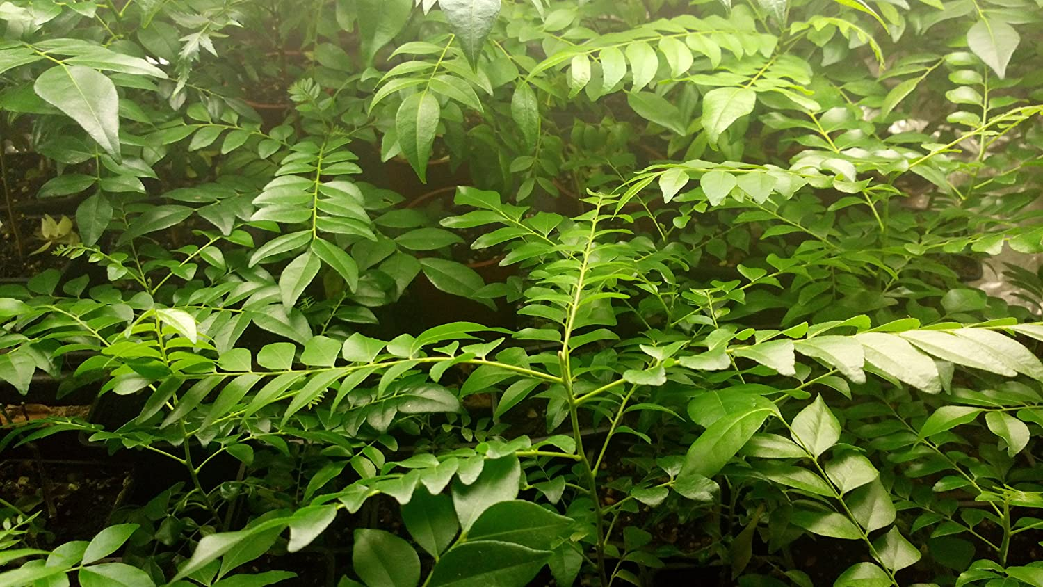 WO/_ 100PCS CURRY LEAF TREE SEEDS PETTED CULINARY HERB PLANT OUTDOOR YARD DECOR N