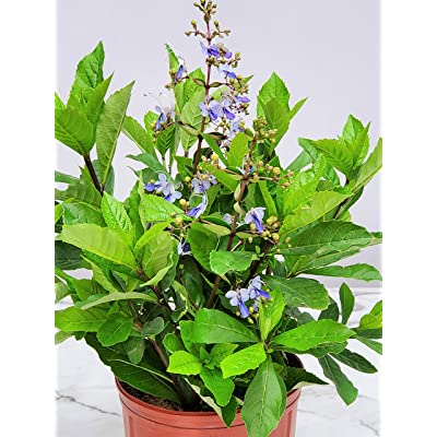"""Butterfly Bush Live Plant - Claredendron Blue Butterfly - 3 Gallon Pot - Overall Height 24"""" to 30"""" - Tropical Plants of Florida : Garden & Outdoor"""
