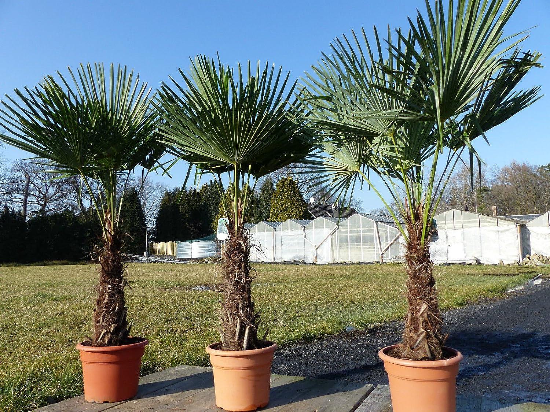 Top-Qualit/ät Trachycarpus fortunei Hanfpalme XXL 170-180 cm Palme winterhart