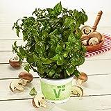 Pilzkraut (Rungia klossii), Kräuter Pflanze aus Nachhaltigem Anbau!