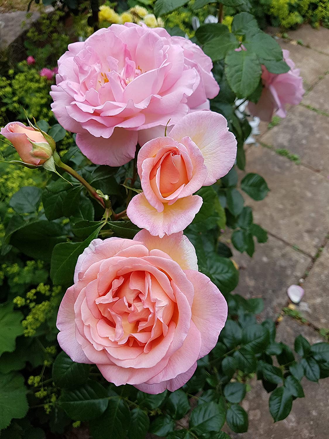 GreenBrokers SWEET SYRIE CLIMBING ROSE 4.5 LITRE With Gift Wrap YELLOW EDGED PINK