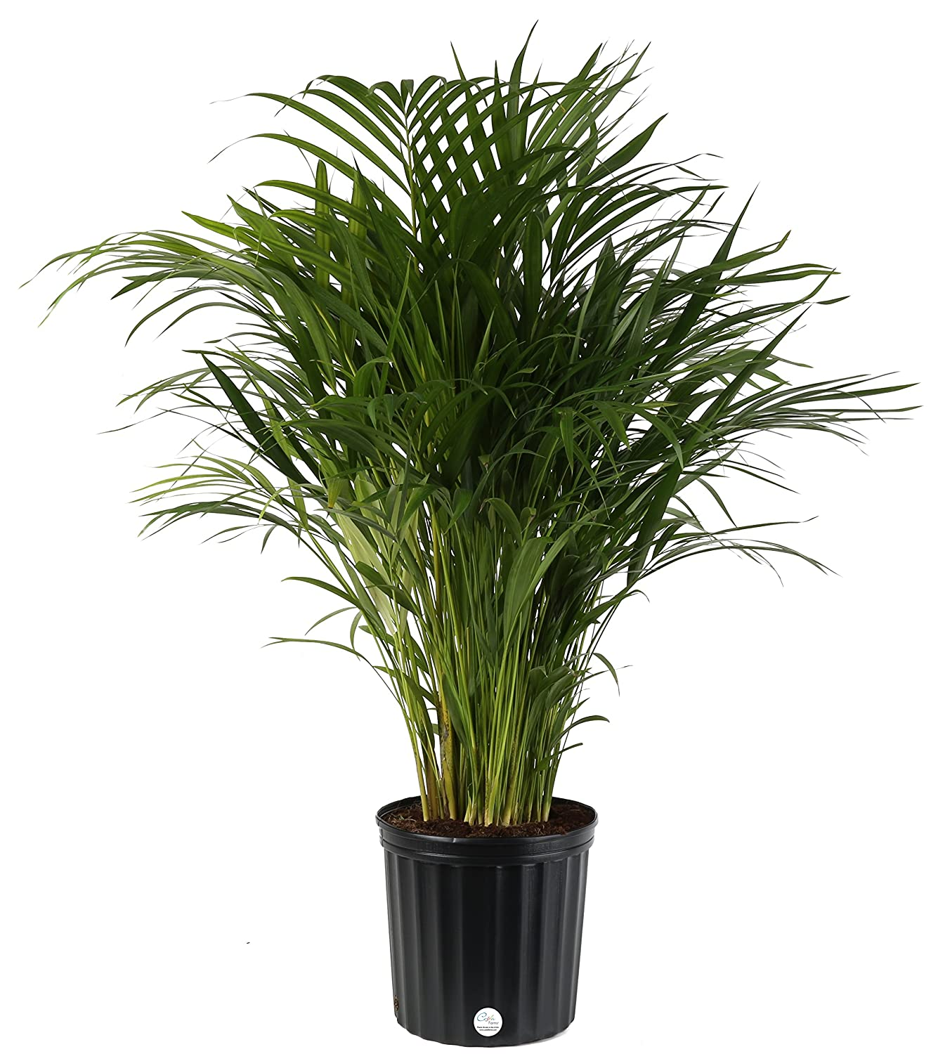 Amazoncom Costa Farms Butterfly Areca Palm Live Indoor Floor Plant