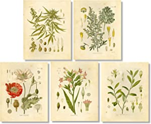 Psychoactive Plants Botanical Drawings Vintage Art Prints, Set of 5, 8x10in, Unframed, Cannabis Coca Opium Poppy Tobacco Wormwood