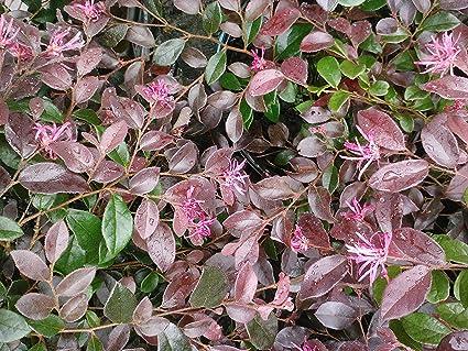 Amazon 10 Plants Of 1 Gallon Ruby Loropetalum Chinese