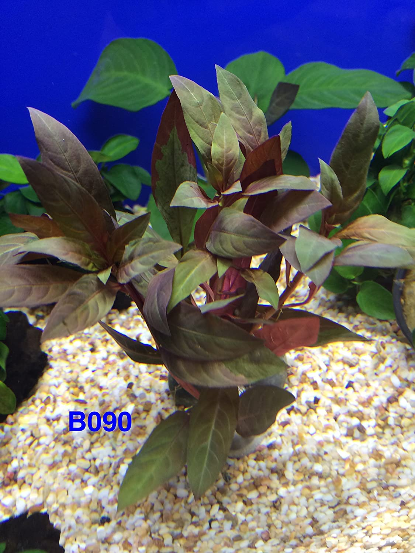 Exotic Live Aquatic Plant for Fresh Water Ludwigia peruensis Bundle B090 By Jayco ** Buy 2 GET 1 Free