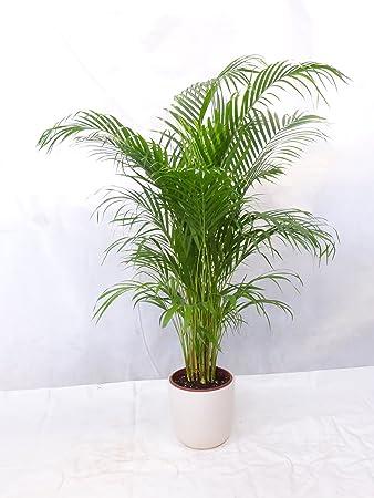 goldfruchtpalme 130 150cm chrysalidocarpus lutescens quot areca palme quot zimmerpalme