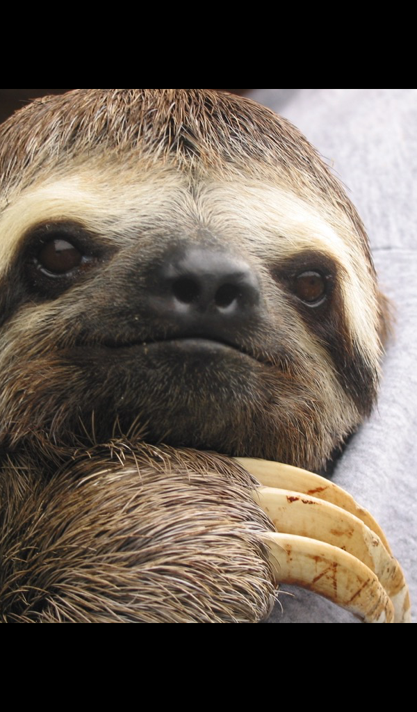 Cute sloth wallpaper hd wallpapers of cute - Sloth wallpaper phone ...