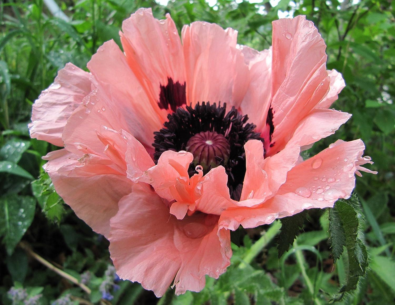 Amazon Great Flowering Flower Seed Pink Poppy Blend Poppy
