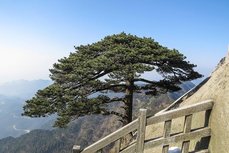 The Jonsteen Company Yellow Mountain Pine Small Tree Seedling