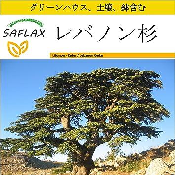 Amazon.co.jp: SAFLAX , 鉢植えセット , レバノン杉 , 20 個の