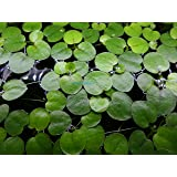 6 Amazon Frogbit (Limnobium Laevigatum), Live Aquarium/Aquatic Floating Plant by Aqua L'amour