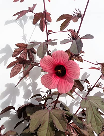 Amazoncom Cranberry Hibiscus Hibiscus Acetosella 100 Seeds Non