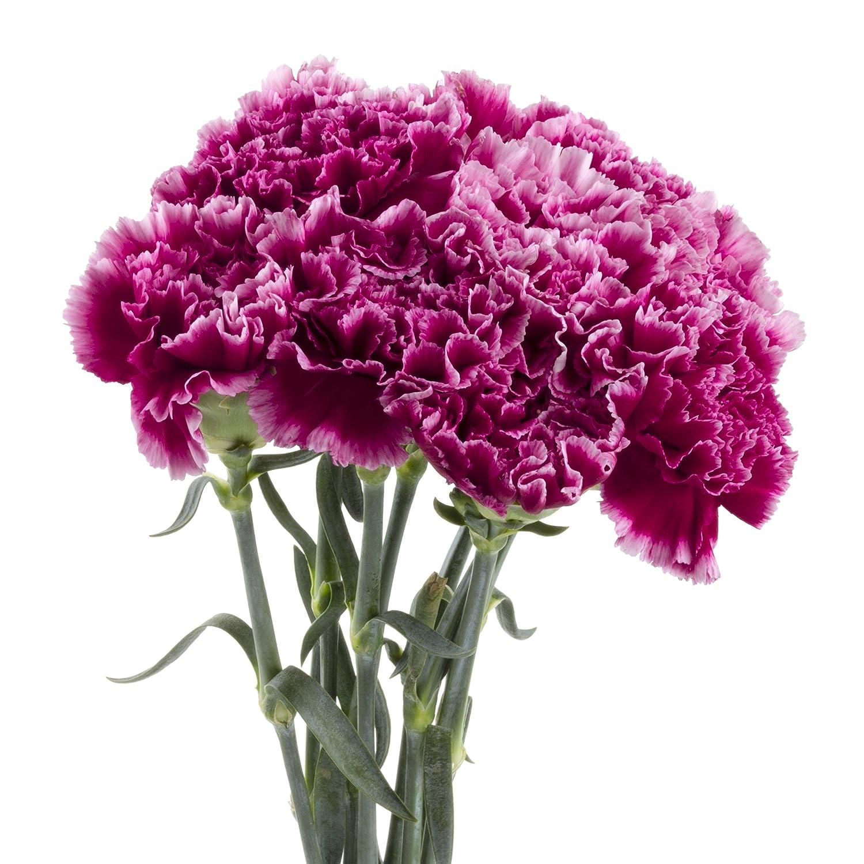 Amazon Wholesale Carnations 150 Bicolor Purple Fresh Cut