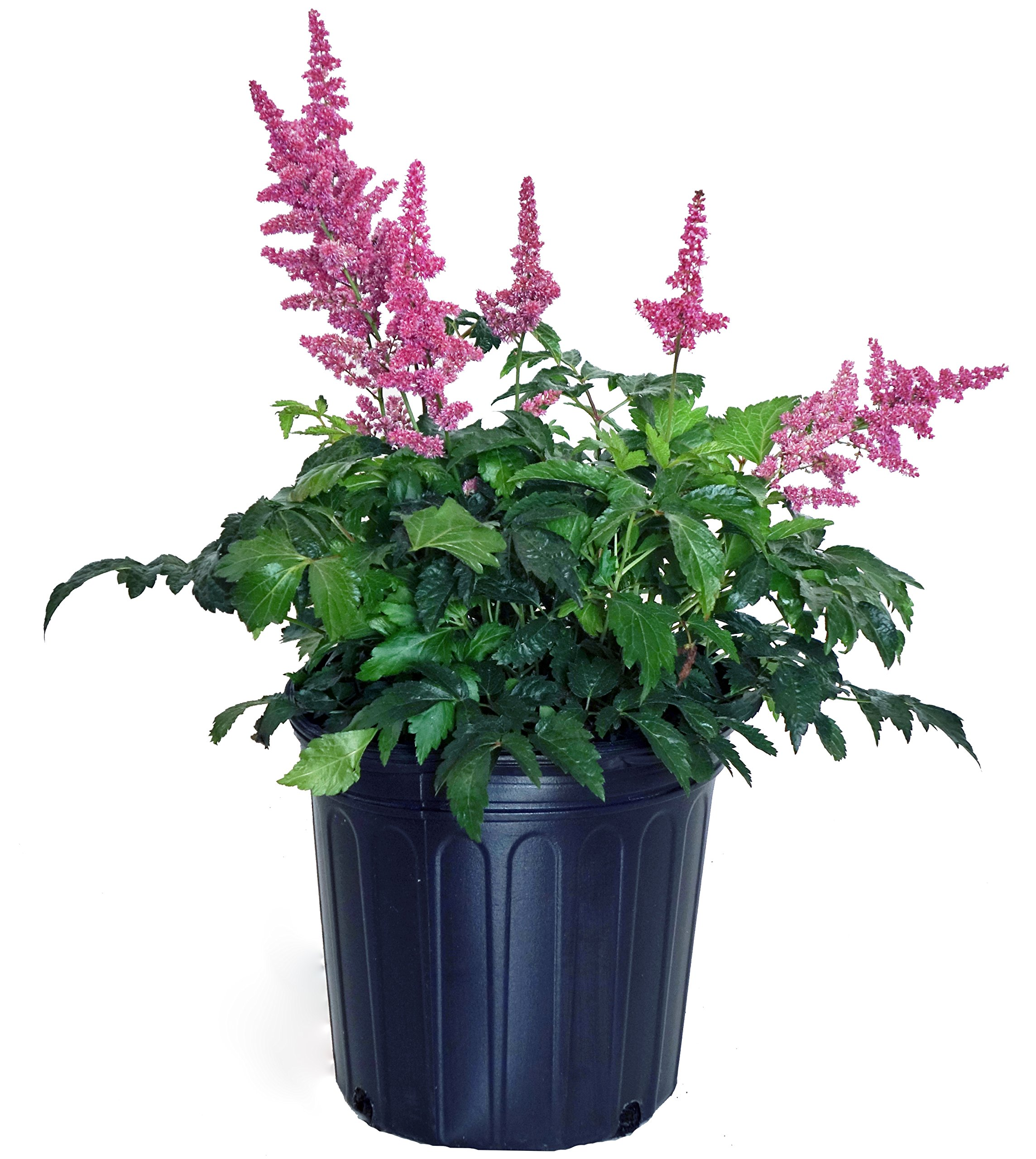 Astilbe arendsii 'Fanal' (False Spirea) Perennial, deep red Flowers, 2 - Size Container