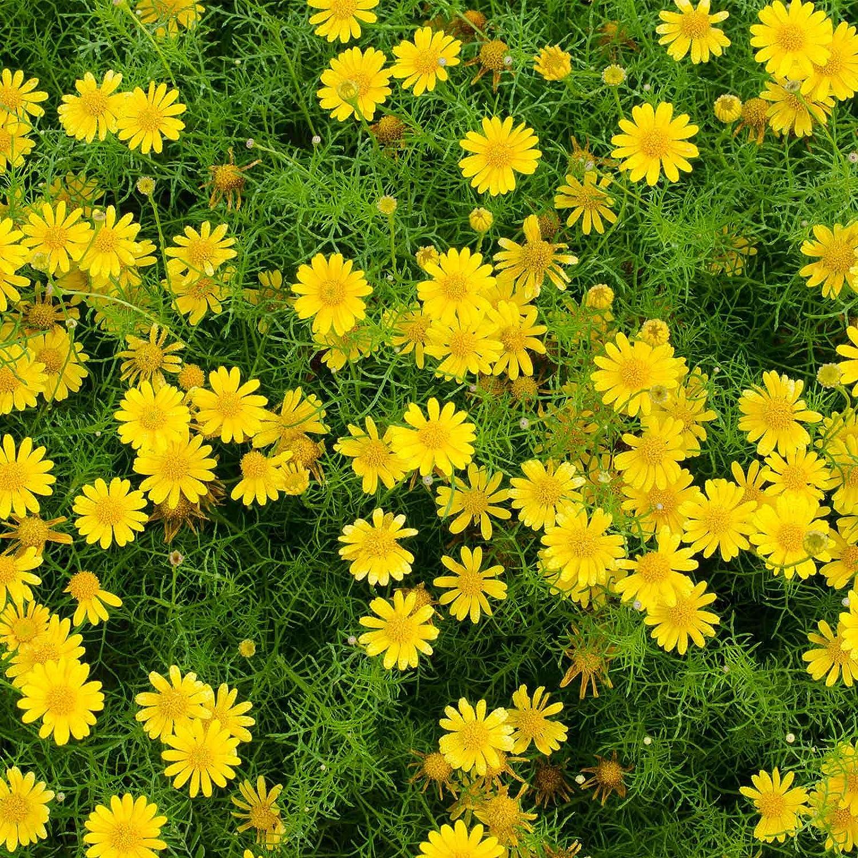 Amazon Golden Fleece Dahlberg Daisy Flower Seeds 1000 Seeds