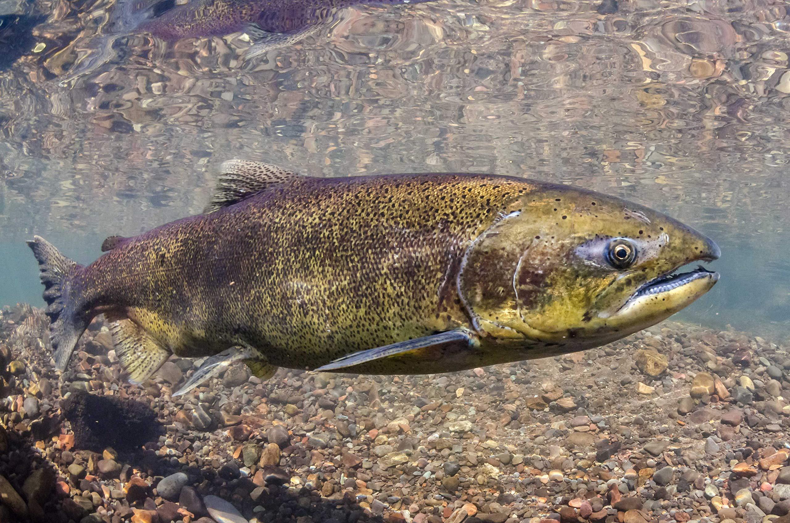 Weight Loss and Energy Pills for Women - Wild Alaskan Salmon Oil 2000MG - Full Range - Omega 3 Fatty acids for Fertility - 3 Bottles 540 Softgels by VIP VITAMINS (Image #4)