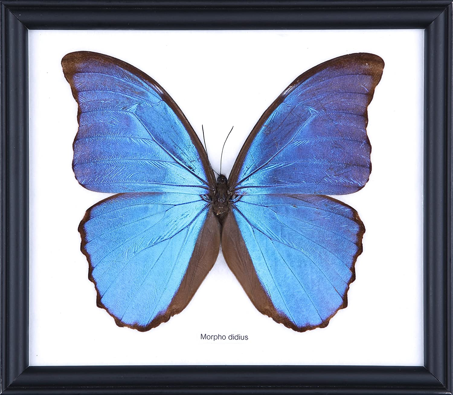 The Giant Blue Morpho Butterfly Morpho Didius Framed Mounted Under Glass Butterfly Taxidermy Home Decor Amazon Co Uk