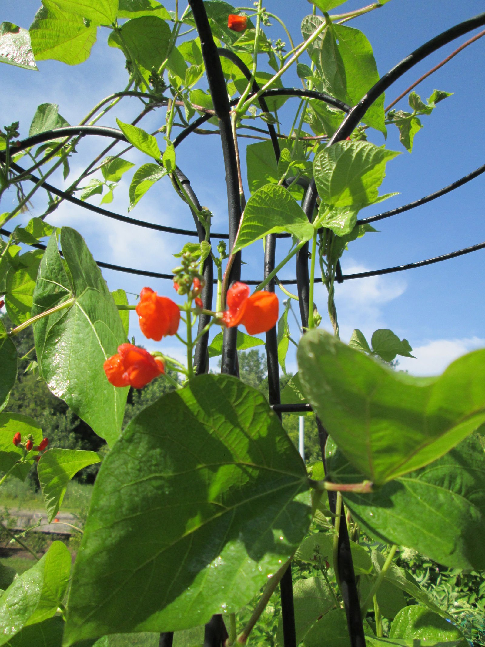 Gardener's Supply Company Essex Trellis, Tall Decorative Flower and/or Vegetable Support