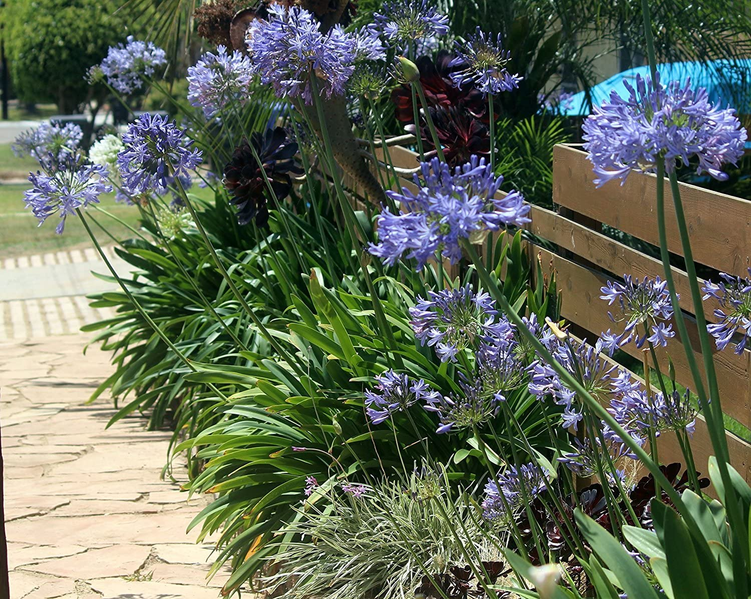 Amazon Com Agapanthus Lily Of The Nile Qty 30 Live Plants