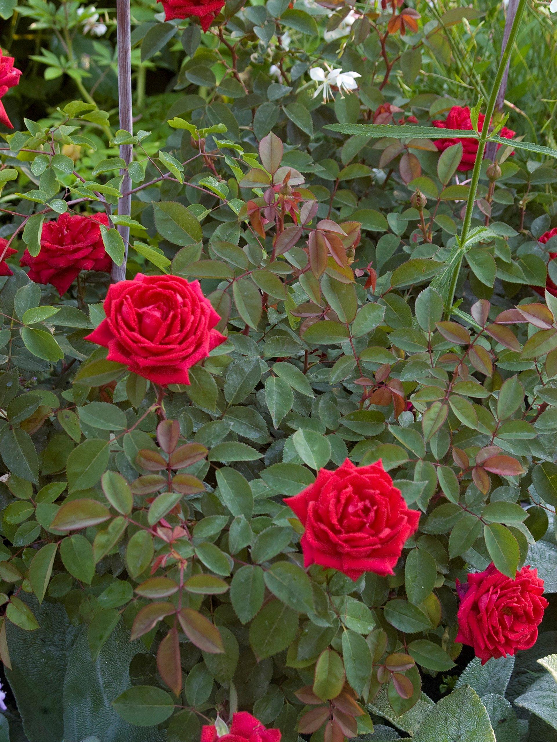 New Life Nursery & Garden Kashmir Red Trade Gallon Pot Easy Elegance Rose