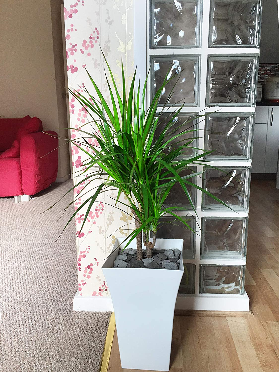 Easy Plants 1 Large Double Dragon Tree in Gloss White Milano Pot - 90/100cm Tall Floor Plant