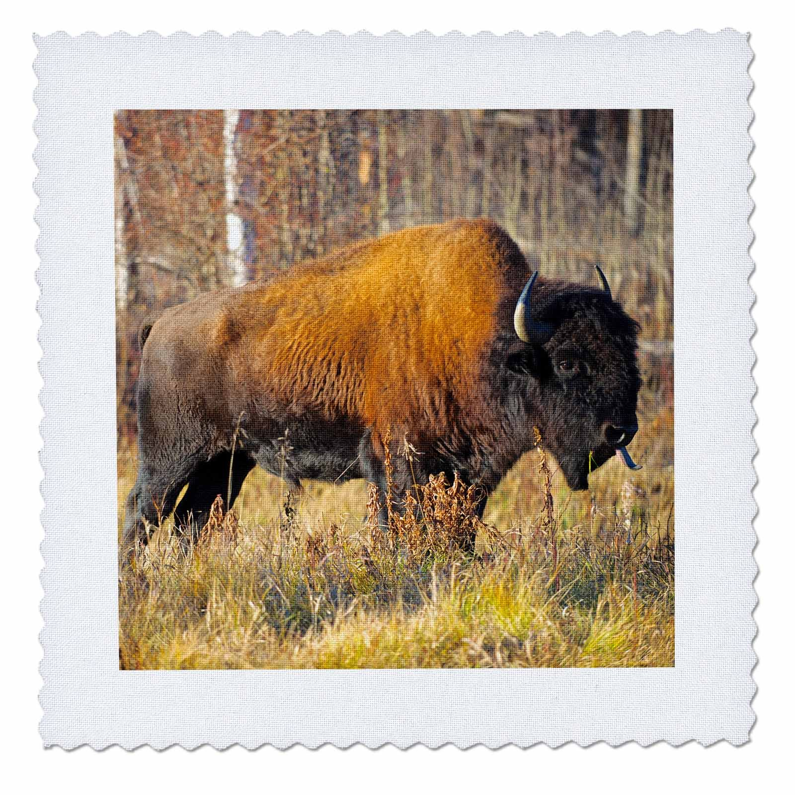 3dRose Danita Delimont - Bison - Wood bison bull grazing in autumn meadow, British Columbia, Canada - 16x16 inch quilt square (qs_257468_6)