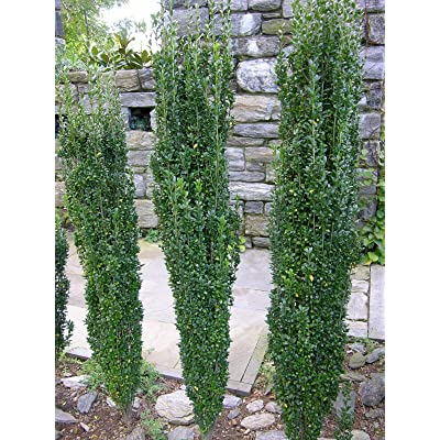 "Sky Pencil Holly Healthy Evergreen Shrub - 6 Plants in 2.5"" Pots : Garden & Outdoor"
