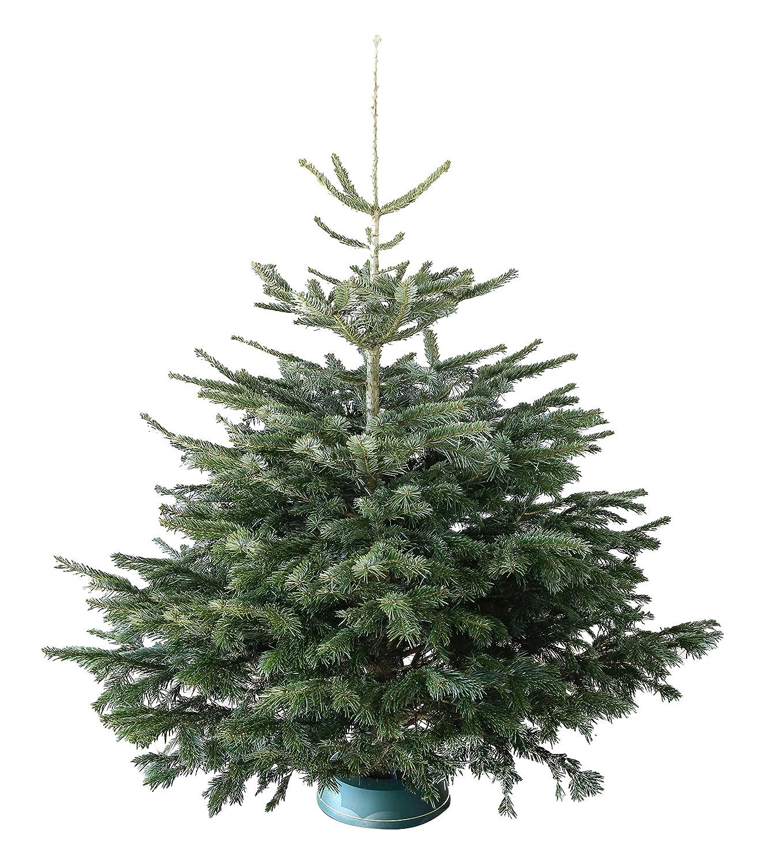 Echter Weihnachtsbaum Nordmanntanne H=ca. 1,45-1,60 m Premium frisch ...