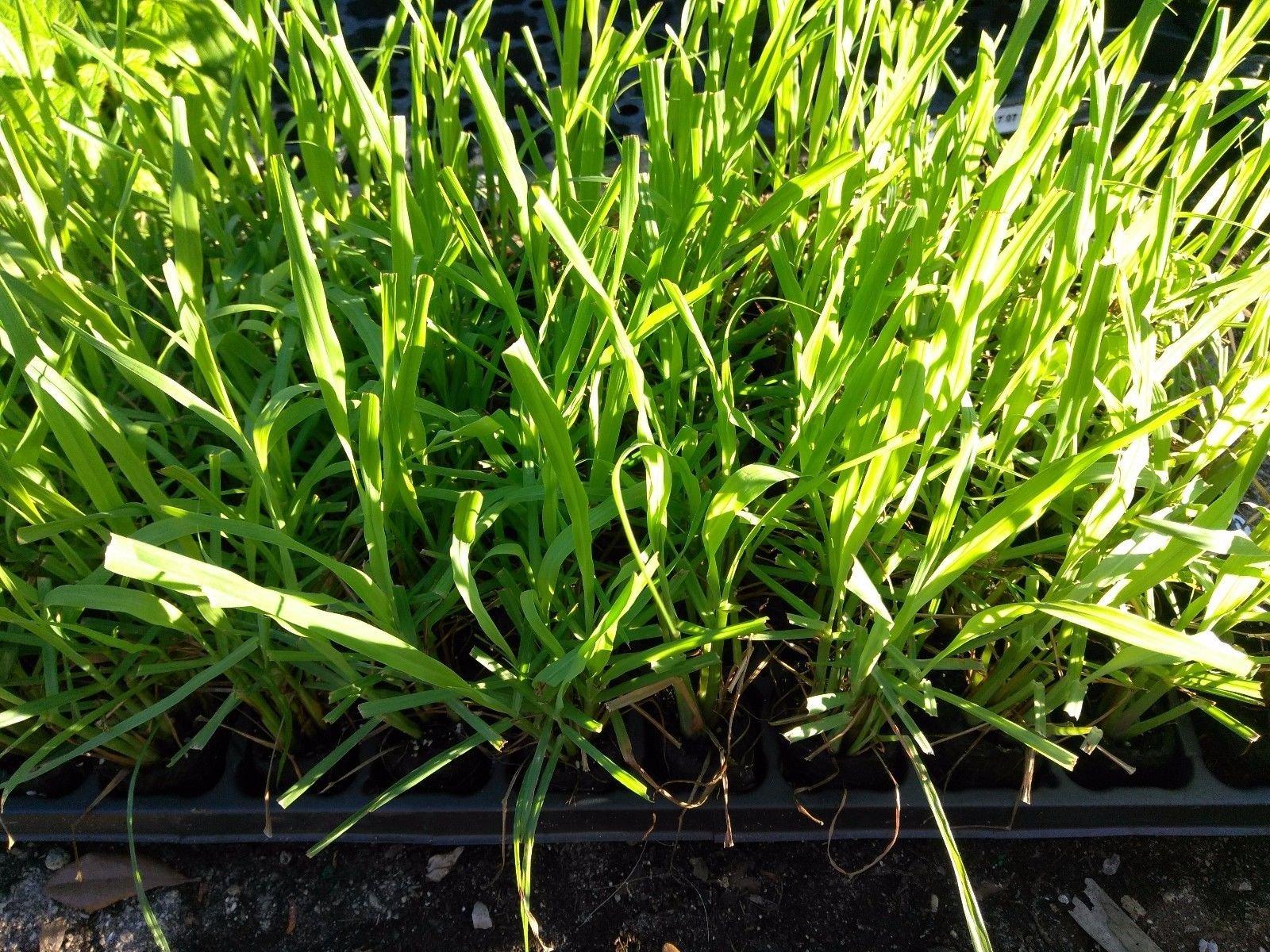 LEMON GRASS - MOSQUITO GRASS - HERB - 20 PLANTS - LIVE PLANTS - 2'' POTS