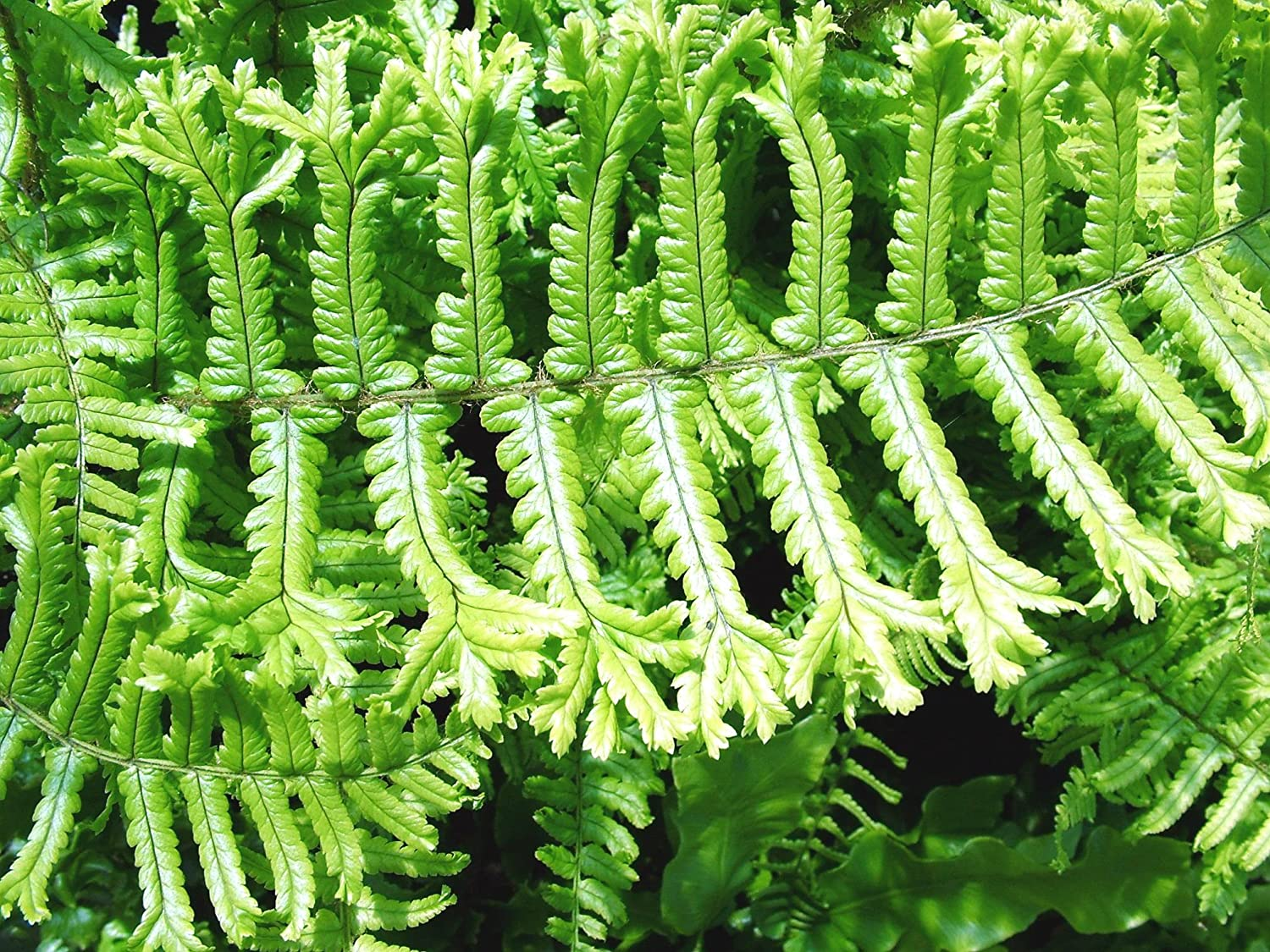 Dryopteris affinis 'Cristata The King' AGM