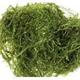 Mainam Christmas Moss in Cup Live Aquarium Plant Decorations Freshwater Not Java Moss