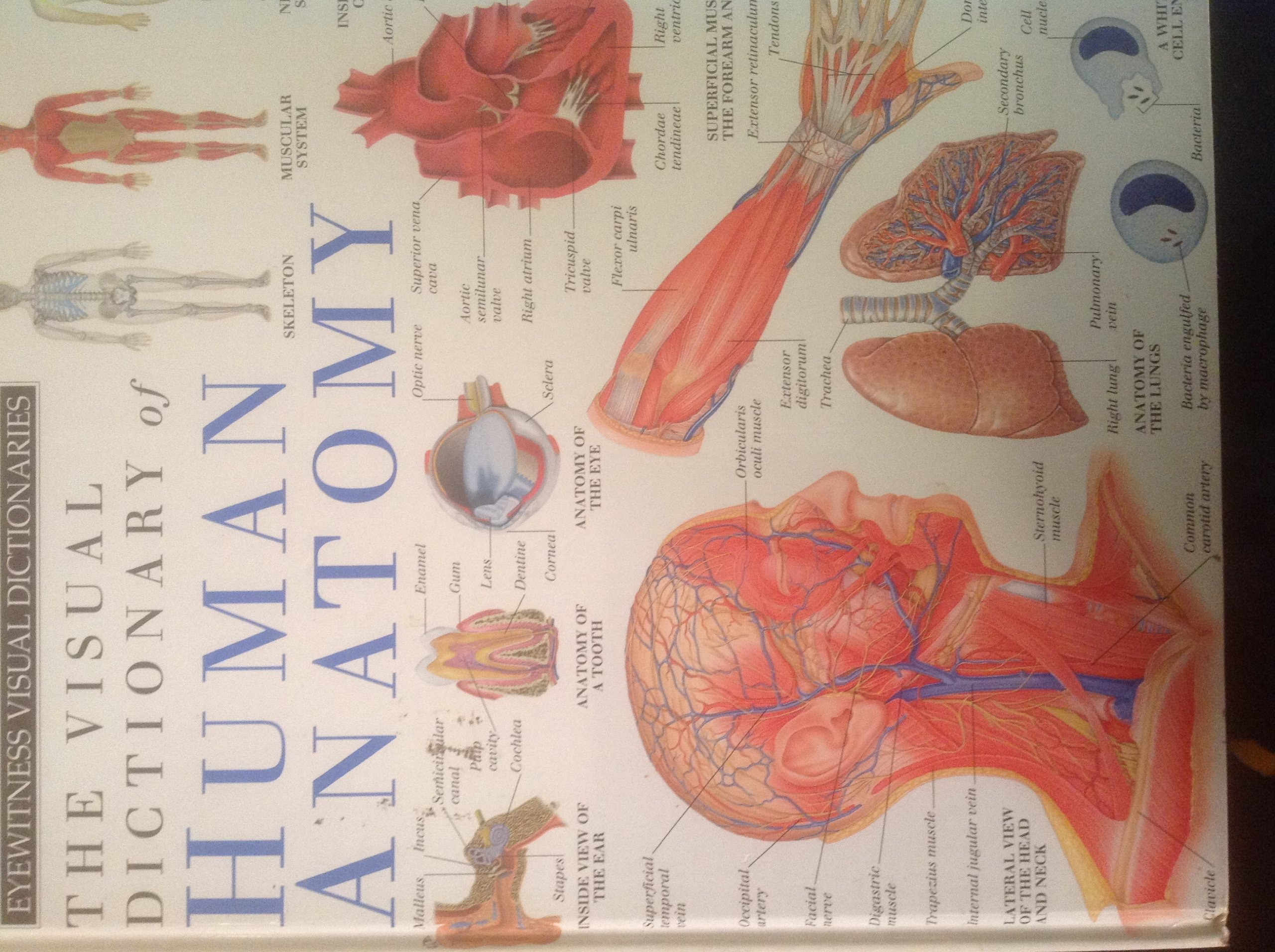 The Visual Dictionary Of Human Anatomy Eyewitness Visual